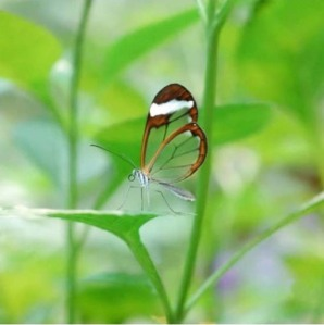 transparent butterfly is not a hoax